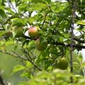 梅の実も色付き始め