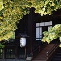 真如堂の菩提樹(ボダイジュ)