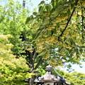 三重塔と菩提樹(ボダイジュ)