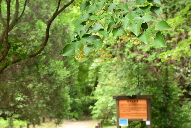 植物園の菩提樹(ボダイジュ)