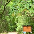 Photos: 植物園の菩提樹(ボダイジュ)