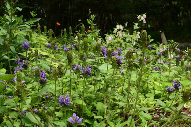 立山靫草、山蛍袋咲く生態園