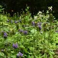 Photos: 立山靫草、山蛍袋咲く生態園