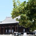 御影堂前の菩提樹(ボダイジュ)