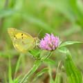 赤詰草に止まる紋黄蝶(モンキチョウ)