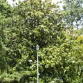 乾御門東の泰山木(タイサンボク)
