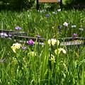 Photos: 終盤の花菖蒲園