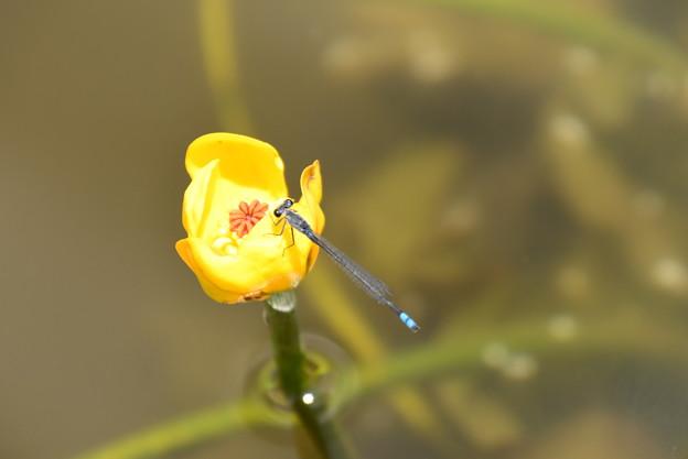 Photos: 紅小倉河骨に止まる黒糸蜻蛉(クロイトトンボ)
