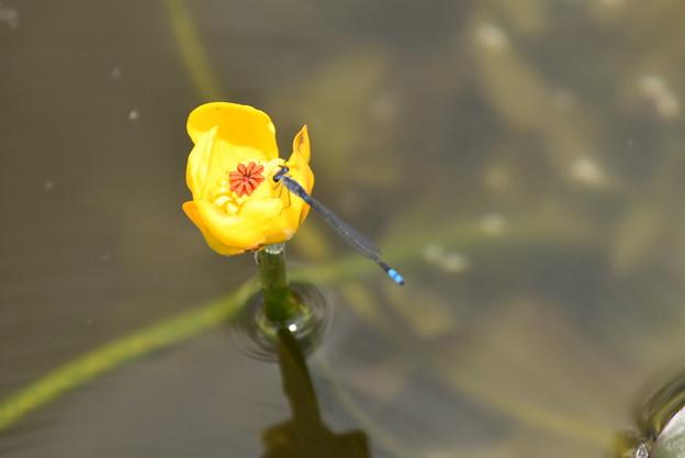 紅小倉河骨に止まる黒糸蜻蛉(クロイトトンボ)