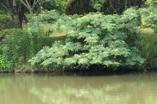池脇の合歓(ネム)