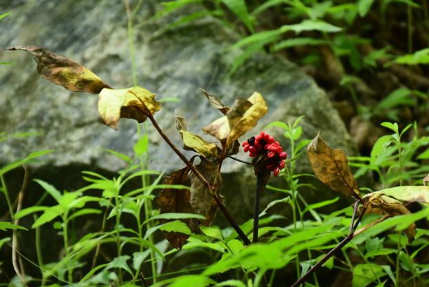 山芍薬(ヤマシャクヤク)