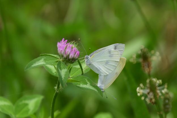 紋白蝶のカップル