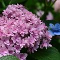 Photos: ピンクの紫陽花