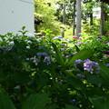 Photos: 紫陽花園