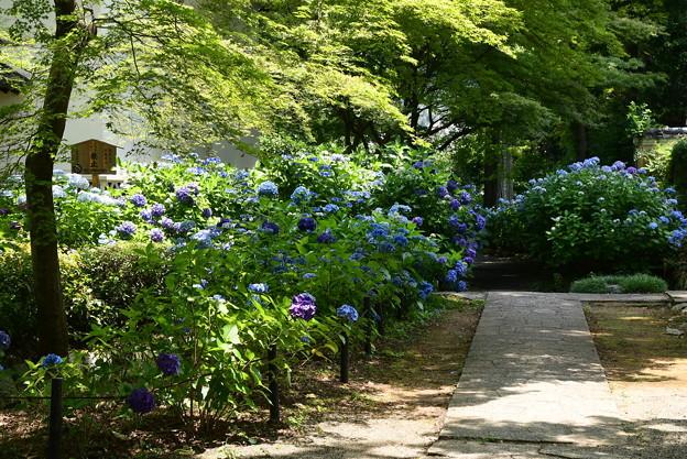 紫陽花園へ