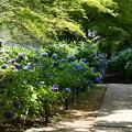 Photos: 紫陽花園へ