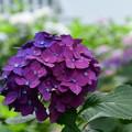 Photos: 二色紫陽花