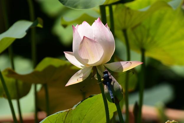 蓮に止まる大塩辛蜻蛉(オオシオカラトンボ)
