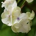 紫陽花属の一種