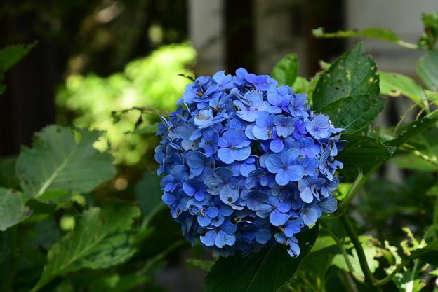 Photos: 紫陽花園の紫陽花(アジサイ)