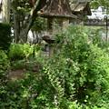 本満寺の萩(ハギ)