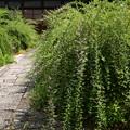 常林寺の萩(ハギ)