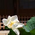 Photos: 妙蓮寺の蓮