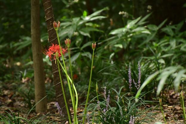彼岸花と薮蘭