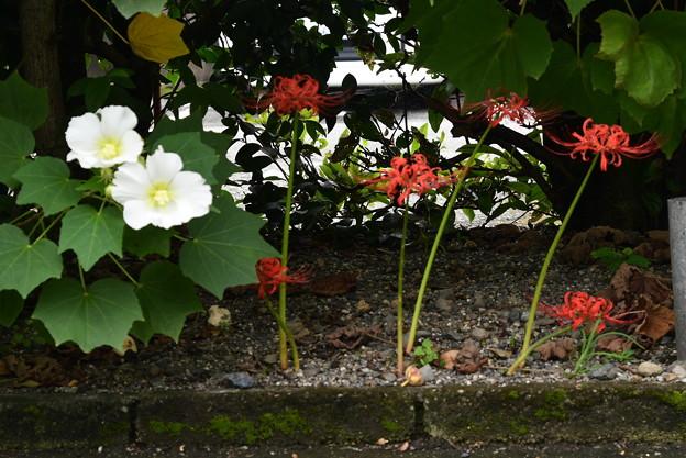 芙蓉と彼岸花