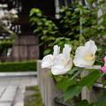 Photos: 酔芙蓉咲く妙蓮寺