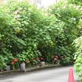 Photos: 芙蓉の根元に咲く彼岸花(ヒガンバナ)