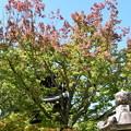 少し色づいた花の木(ハナノキ)