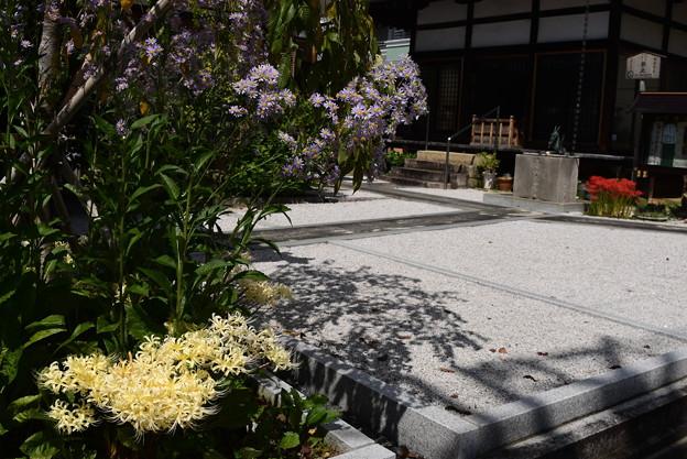 白花彼岸花、紫苑、彼岸花咲く極楽寺