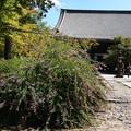 本堂前の萩(ハギ)
