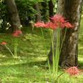 緑の中の彼岸花(ヒガンバナ)