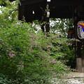 鎌倉地蔵尊前の萩(ハギ)