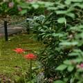 萩の奥の彼岸花(ヒガンバナ)