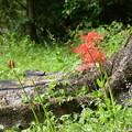親子の森の彼岸花(ヒガンバナ)