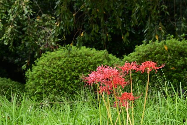 半木の道の彼岸花(ヒガンバナ)