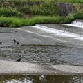 烏の群を見つめる小鷺(コサギ)