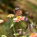 ジニアに戯れる蝶たち
