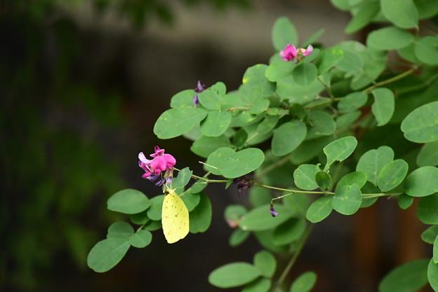 萩に黄蝶(キチョウ)