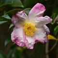 咲き始めた山茶花(サザンカ)