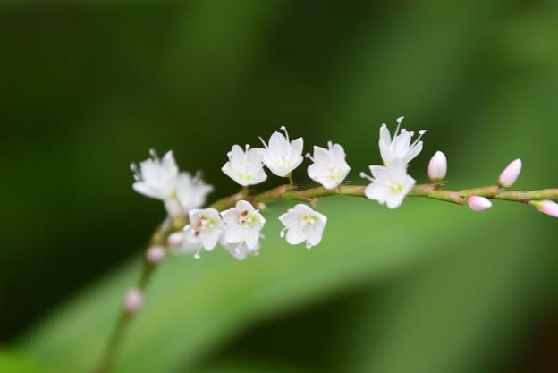 白花桜蓼(シロバナサクラタデ)