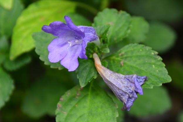 鈴虫花(スズムシバナ)