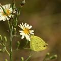 秋の野罌粟に止まる黄蝶(キチョウ)