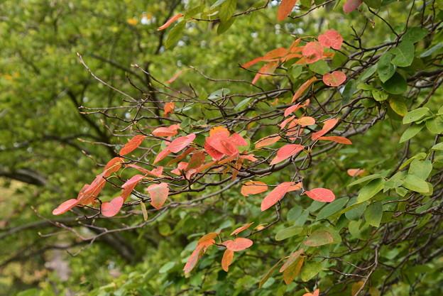 采振り木の色づき