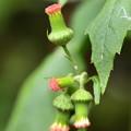 紅花襤褸菊(ベニバナボロギク)