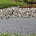 鴨を見守る青鷺