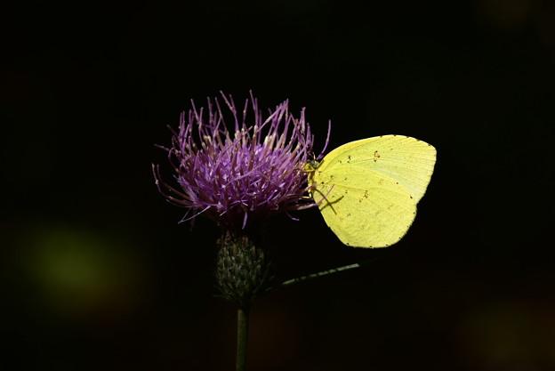 薊に止まる黄蝶(キチョウ)